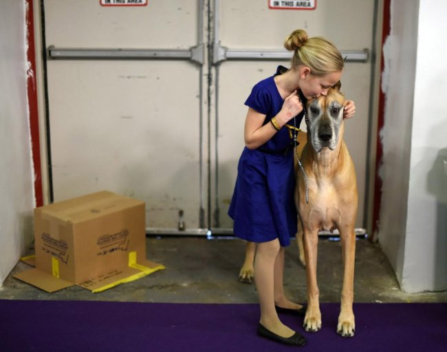 Как проходит выставка собак Westminster Kennel Club 2015